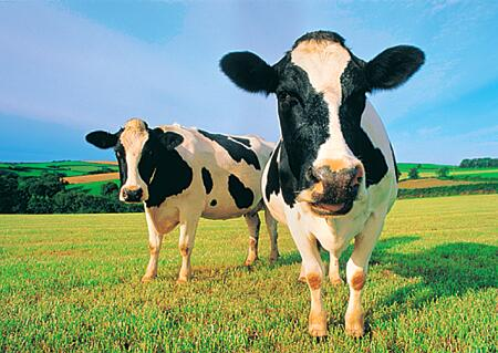 Post image for 2 Cows