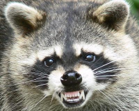 Post image for Fear of Raccoons