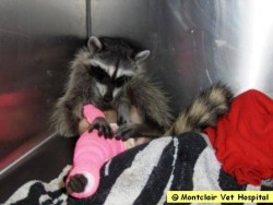 Post image for Not Just Any Raccoon, This Is Ms Raccoon!
